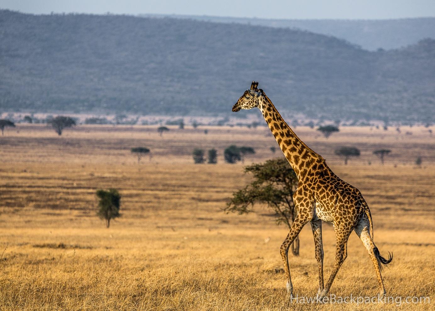 Serengeti Giraffes Hawkebackpacking Com