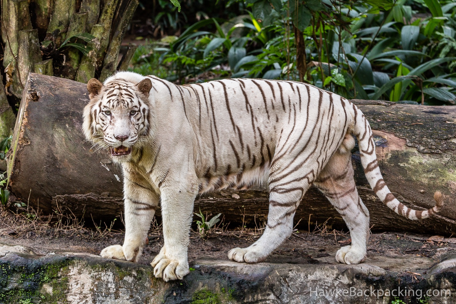 White tigers maul cleaner to death at zoo  Telegraph
