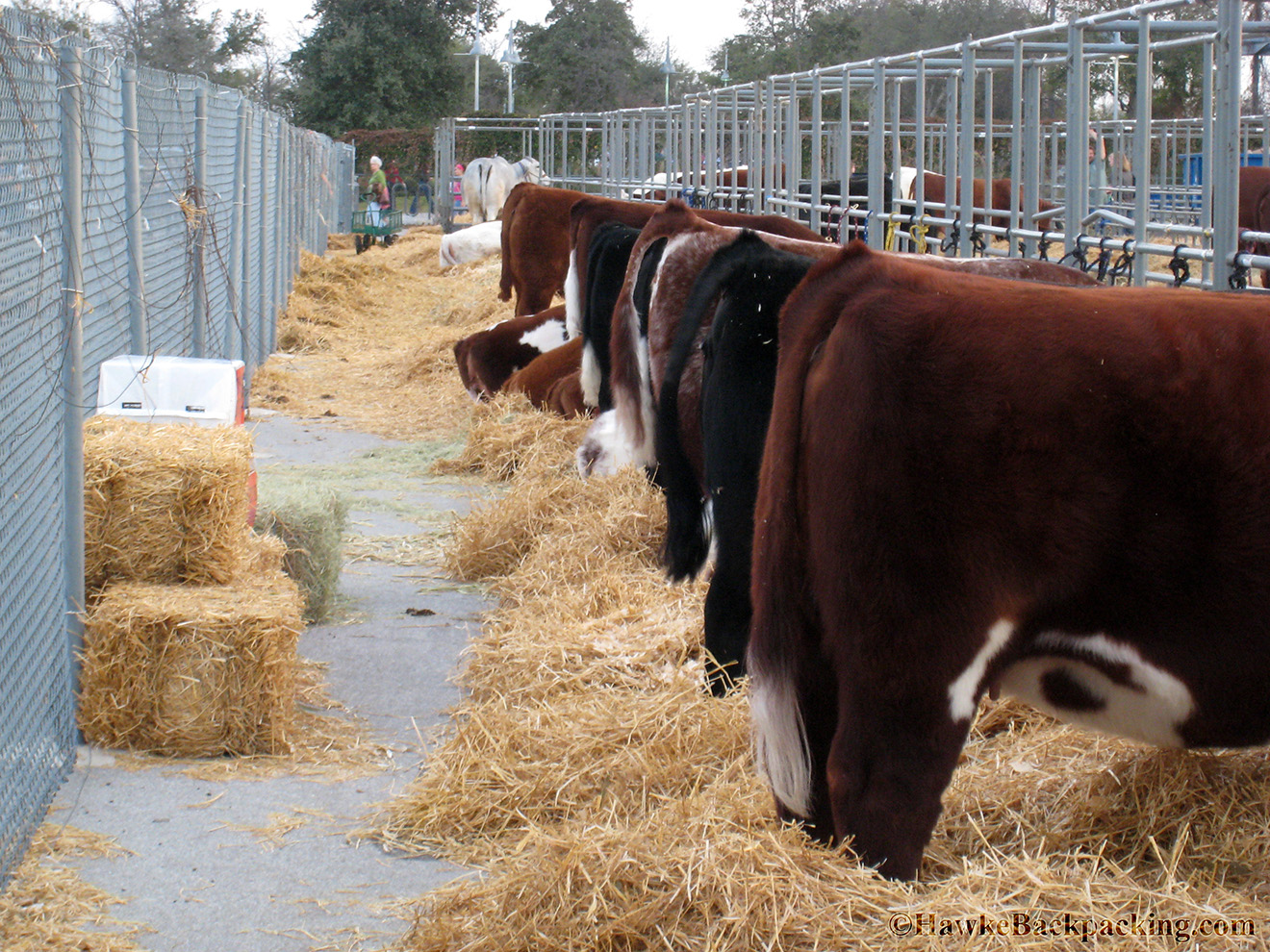 Cattle Hanging Out In An Outside Corral